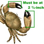 Saltwater Fish Measurement Stone Crab